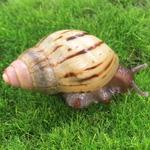 CB Zanzibarca Land Snail