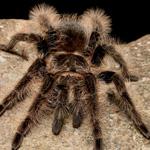 CB Spiderling Curly Hair Tarantula