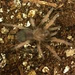 CB 3cm Mexican Red Leg Tarantula