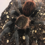 CB spiderling  Veracruz Red Rump Tarantula
