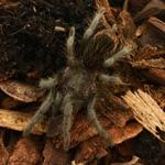 CB SPIDERLING Red Rump Tarantula