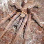 CB SPIDERLING Blue Vietnam Tarantula