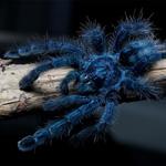 CB Spiderling Antilles Pink Toe Tarantula