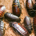 CB Madagascan Hissing Cockroach x 20