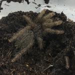 CB 2-3cm Togo Starburst Tarantula