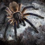 CB 1cm Socotra Island Blue Baboon tarantula