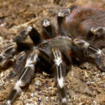 CB Spiderling Brazilian Red/White Tarantula