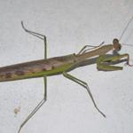 CB Madagascan Marbled Mantis (PA)