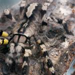 CB SPIDERLING Indian Ornamental Tarantula