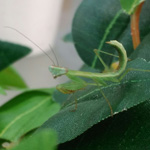CB Tanzanian Mantis (POL)