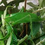 CB 2-3cm Cuban Giant Katydid
