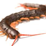 WC Centipede (Scolopendra)