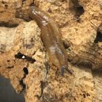 CB Pancake Slug