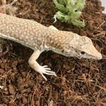 WC Leopard Fringe-Fingered Lizard