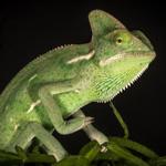 CB MALE Yemen Chameleon