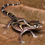 WC American Banded Gecko