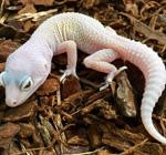 CB BLIZZARD Leopard Gecko