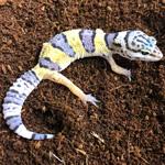 CB HATCHLING Leopard Gecko