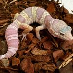 CB MACK SNOW ALBINO Leopard Gecko