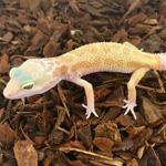 CB ALBINO LEUCISTIC Leopard Gecko