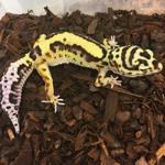 CB STRIPE Leopard Gecko