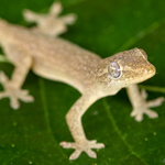 WC Asian House Gecko