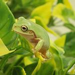 CB 1-3cm Whites Treefrog