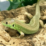 CB European Green Lizard