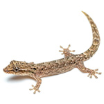 CB Mourning Gecko