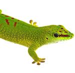 CB Giant Madagascan Day Gecko