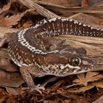 CB Madagascan Ground Gecko