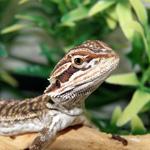 CB Bearded Dragon