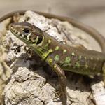 CB European Eyed Lizard