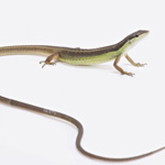 WC Long Tailed Lizard