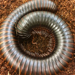 WC African Train Millipede