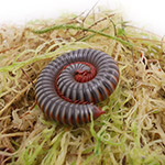 WC Banded Millipede