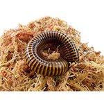 WC Brown  Millipede