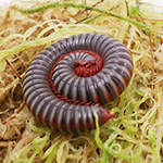 WC Thai Rainbow Millipede