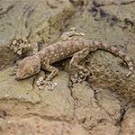 WC Fan Footed Gecko