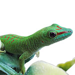 CB Giant Madagascan Day Gecko