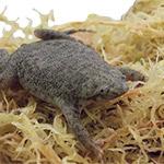 CB 3cm Dwarf Surinam Toad