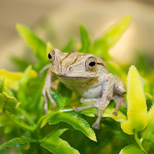 CB File-Eared Frog