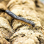 WC Ivory Millipede