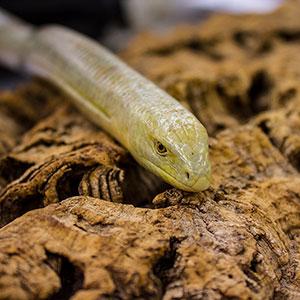 WC Legless Lizard