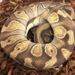 CB ADULT FEMALE PASTEL ORANGE GHOST Royal Python