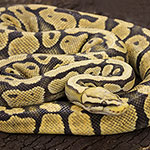 CB ADULT FEMALE FIRE FLY Royal Python