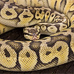 CB ADULT FEMALE SUPER PASTEL Royal Python