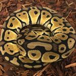 CB20 FEMALE PASTEL Royal Python