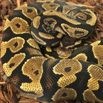CB20 MALE YELLOW BELLY Royal Python