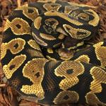 CB20 FEMALE YELLOW BELLY Royal Python